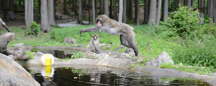 Ein Affe springt über einen Teich am Affenberg, einem Ausflugsziel im Urlaub bei Villach