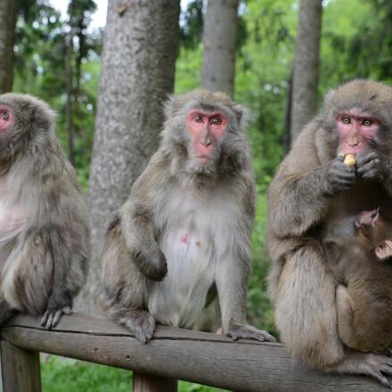 Drei Affen sitzen auf einem Zaun am Affenberg, nahe dem Hotel für Radurlaub in Kärnten