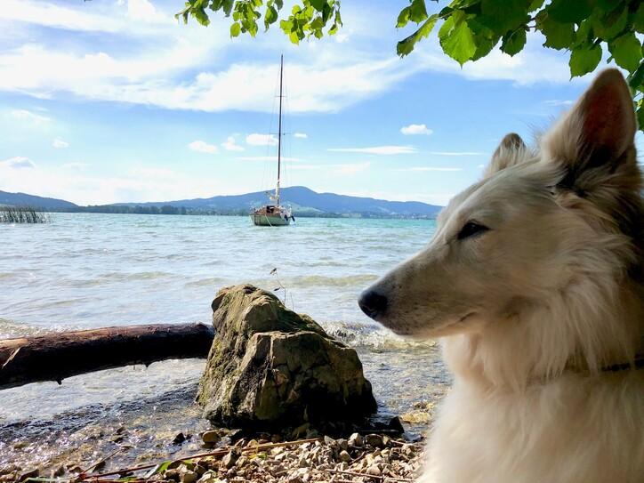 Im Urlaub mit Hund am Ossiacher See sitzt ein weißer Schäferhund am Seeufer