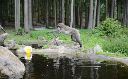 Ein Affe springt über einen Teich am Affenberg, nahe dem Hotel mit Kärnten-Card